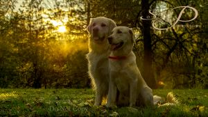 Goldens in the Golden light