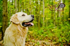 golden retrievers 2657 1.jpg
