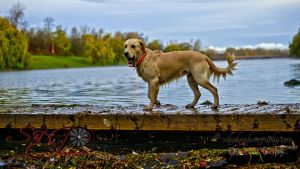 retrievers in the water 1443 1.jpg